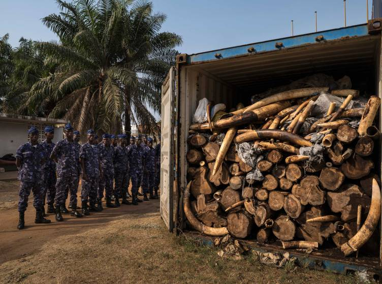 LOME', TOGO, 29 JANUARY 2014: Containers with 4 tons of illegal ivory confiscated in January 2014 by the Togolese customs office from its new deep water port, Lome,' Togo. This ivory has been directly linked through DNA evidence to the elephant massacre that occured in Dzanga Bai, Central African Republic in 2013. That massacre was perpetrated by Seleka rebels who climbed the observation towers at the famous forest elephant gathering place in Dzanga Bai and gunned down the elephants with automatic weapons. The Seleka rebels would have used the proceeds from this ivory sale for some of the violence which has plagued C.A.R over much of 2013 and 2014. Togo has been viewed as a new opportunity by ivory smugglers with its new deep water port. Customs officers with new Container scanning technology have made the efforts of these smugglers more difficult.