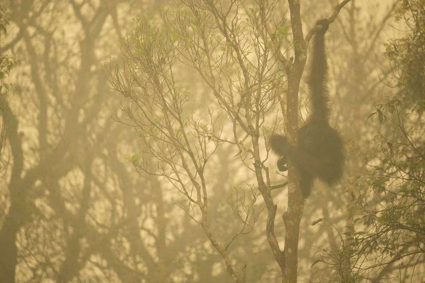 Unflanged male orangutan in a strip of remaining forest along the edge of the Mangkutup River, seen through the smoke of forest fires. Forest away from the river has burned. Bornean Orangutan (Pongo pygmaeus wurmbii Central Kalimantan Province, Indonesia Island of Borneo