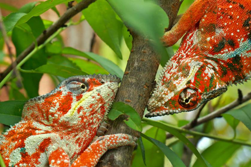 Panther chameleon, Furcifer pardalis, orange form from northern Madagascar, now very rare in the wild due to intense collecting for the pet trade. Two males fighting. Controlled conditions in a large voliere at Madagascar exotique.