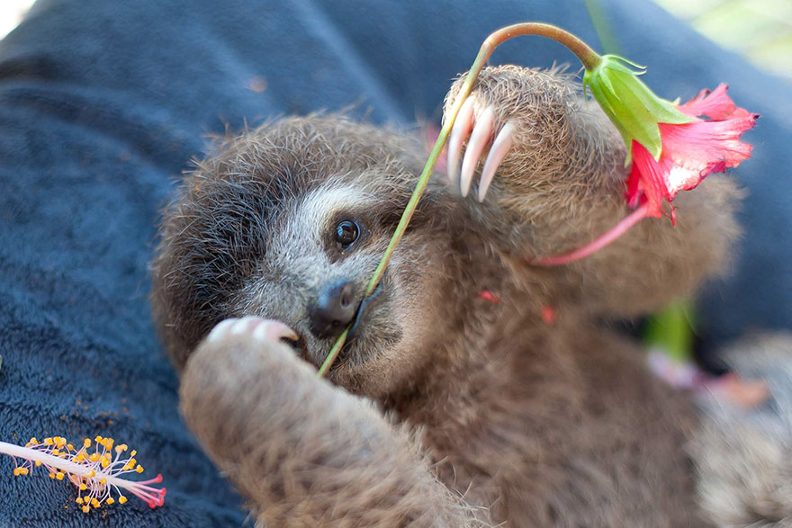 cute-baby-sloth-institute-costa-rica-sam-trull-21