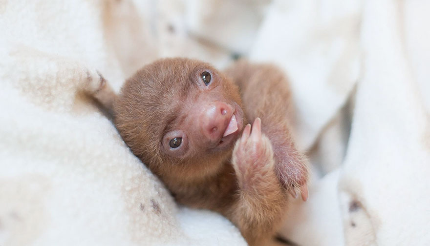 cute-baby-sloth-institute-costa-rica-sam-trull-29