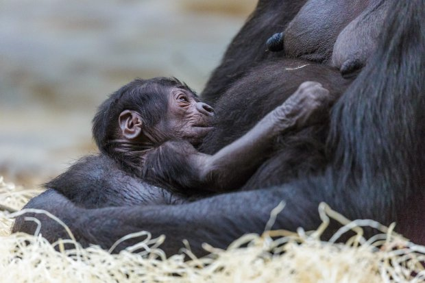 epa05275167 A handout photo provided by the Prague Zoo on 24 April 2016 shows 24-year-old gorilla named Shinda with her new born baby at its enclosure at the zoo of Prague Zoo, Czech Republic, 23 April 2016. Baby was born 23 April 2016, According to the Prague Zoo, The birth was wholly unexpected. Prague zoo director confirmed that zoo workers had not known that Shinda was pregnant. EPA/PRAGUE ZOO / MIROSLAV BOBEK / HANDOUT