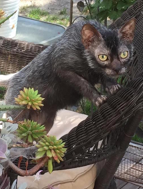 8-month-old_male_Lykoi
