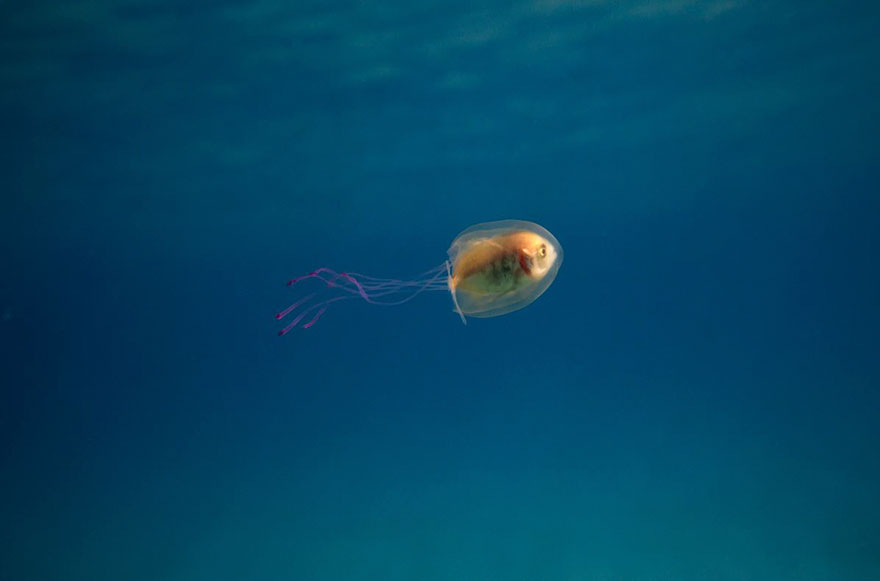 fish-trapped-inside-jellyfish-5