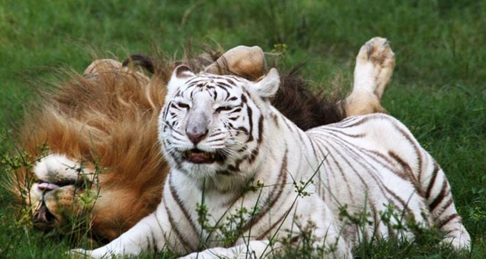 rescue-lion-tiger-couple-zabu-cameron-1