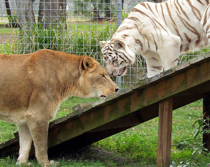 rescue-lion-tiger-couple-zabu-cameron-10
