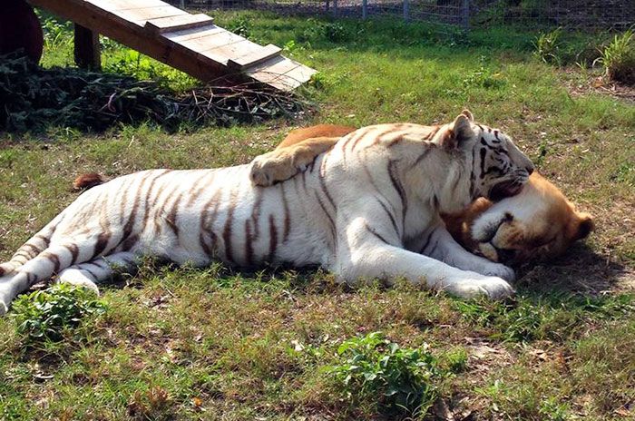 rescue-lion-tiger-couple-zabu-cameron-3