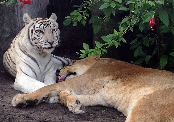 rescue-lion-tiger-couple-zabu-cameron-4