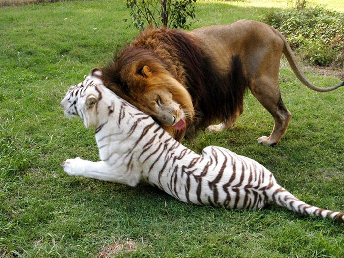 rescue-lion-tiger-couple-zabu-cameron-6