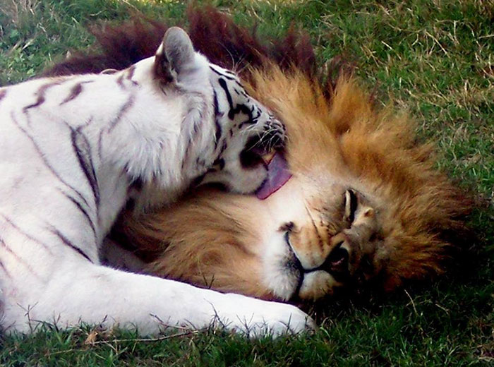 rescue-lion-tiger-couple-zabu-cameron-9