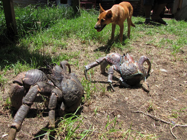 the-biggest-land-living-arthropod-in-the-world-coconut-crab-with-dog