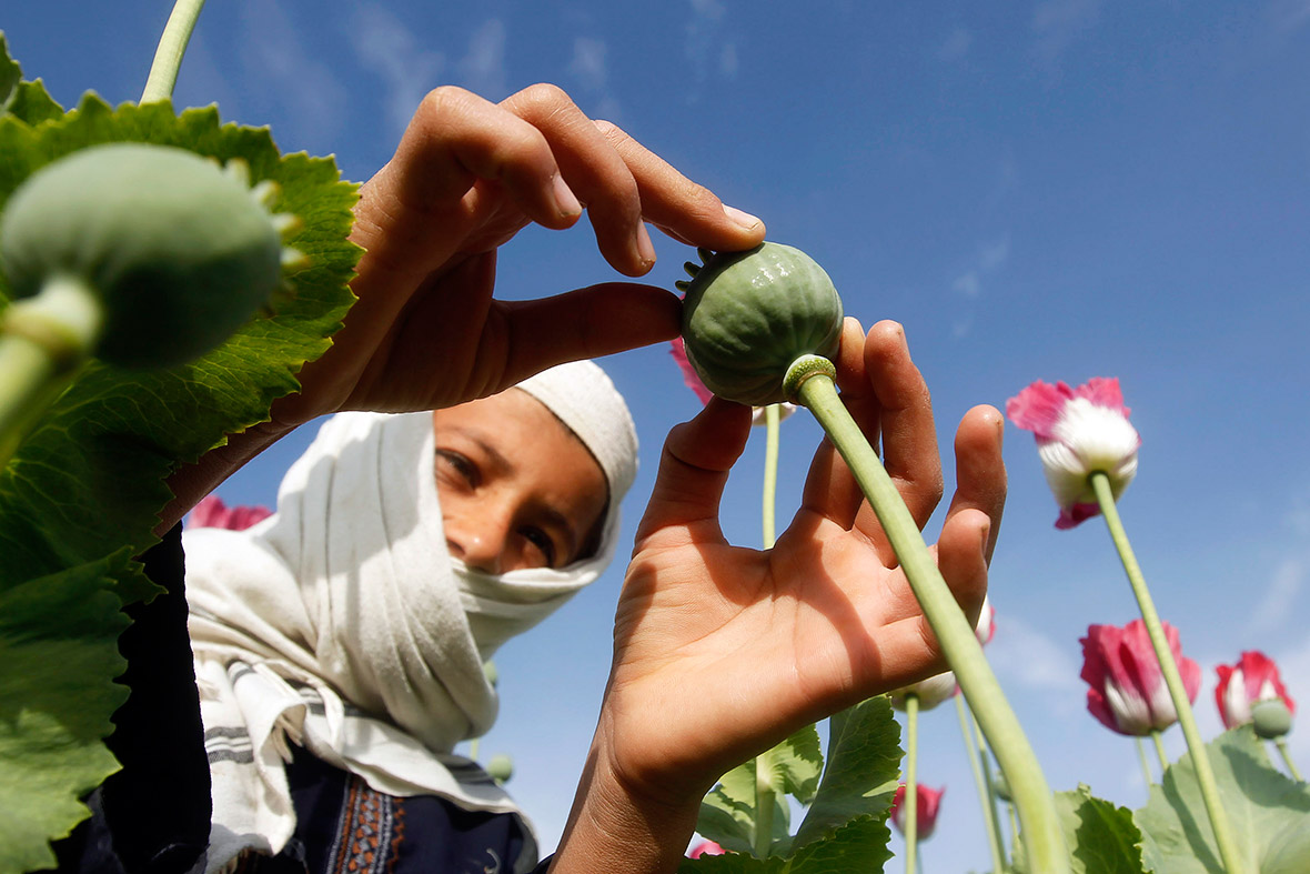 A boy works at a poppy field in Jalalabad province, Afghanistan