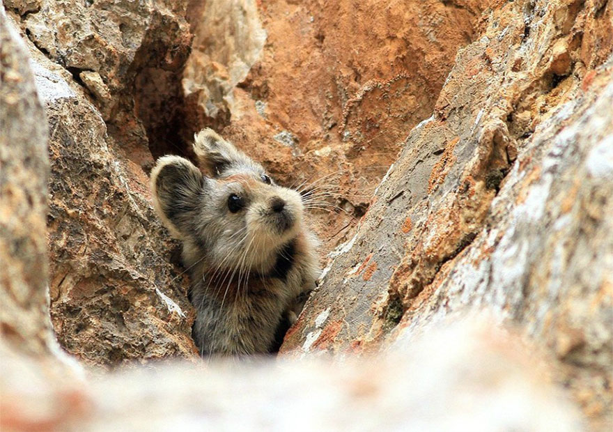 rare-endangered-animal-teddy-bear-magic-rabbit-ili-pika-china-4