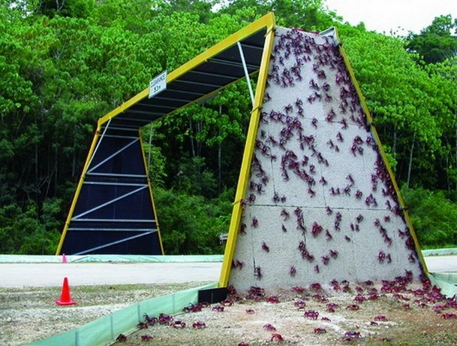 A bridge for crabs' migration, Australia