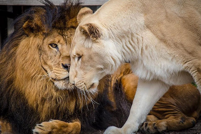rescue-lions-love-kahn-sheila-in-sync-exotics-14
