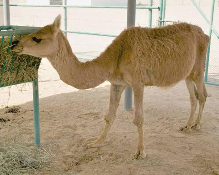 A cama is a cross between a male dromedary camel and a female llama