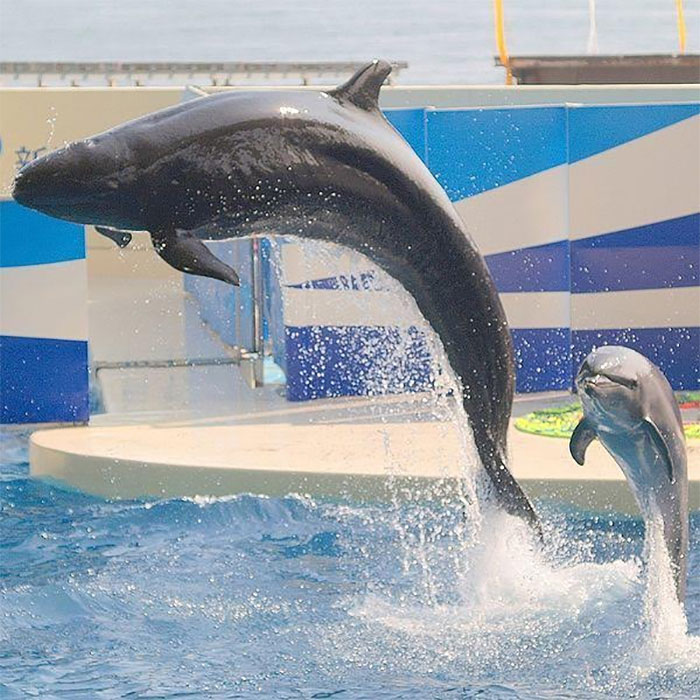 A wholphin is the extremely rare mix of a female common bottlenose dolphin and a male false killer w