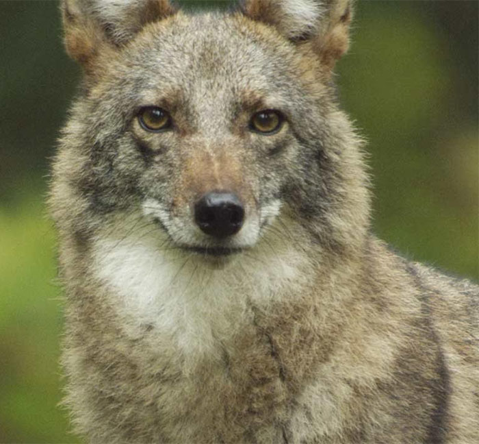 The coywolf or woyote is a hybrid descended from coyotes and gray wolves
