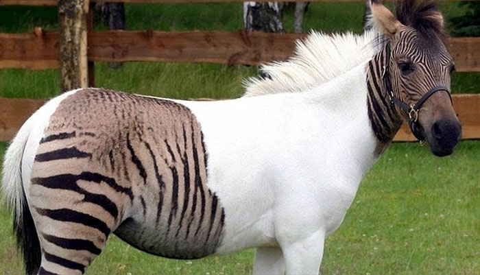 Zebroids are the offspring of a zebra and any other equine