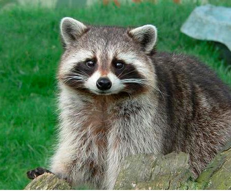 a98709_raccoon