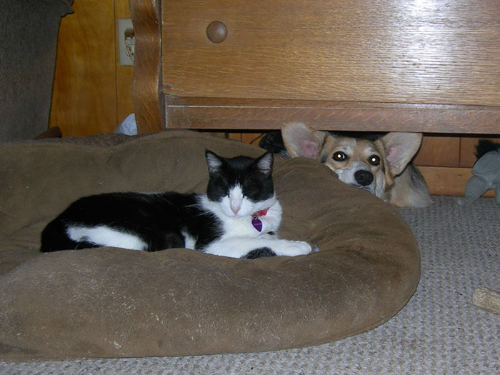 cats-stealing-dog-beds-57-57e12cb92f743__700