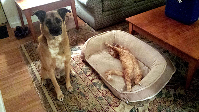 cats-stealing-dog-beds-9-57e0fdab323c4__700