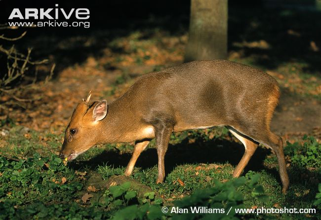 Male-Reeves-muntjac-eating-acorns-in-woodland