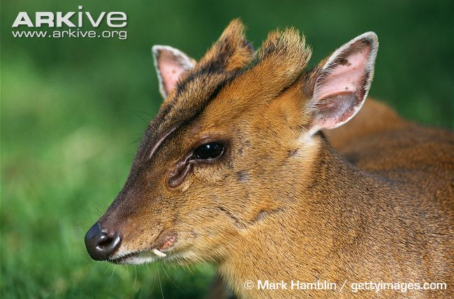 Male-Reeves-muntjac-showing-small-tusk