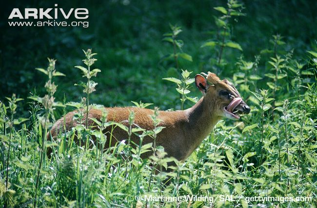 Reeves-muntjac-licking-its-face