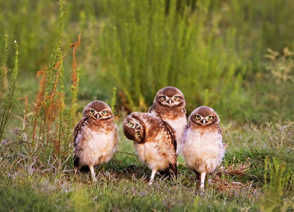 *** EXCLUSIVE - VIDEO AVAILABLE *** SANTA ROSA, ARGENTINA: Mario Gustavo Fiorucci wins the portfolio category with his image of four pigeon burrowing owls staring directly at the camera and one appears to tilt it?s head to get a better look, Santa Rosa, Argentina. The Comedy Wildlife Photo Awards 2016 have come to an end as the winners for this year?s competition are revealed. This year?s contest featured over 2,200 hilarious entries from around the world, with each of the contenders combining exquisite photography skills and perfect comedy timing. The awards ceremony took place at the Underdog Gallery in London on November 9, with winners collecting trophies in five separate categories and an additional 10 highly commended photographers each receiving a certificate. PHOTOGRAPH BY Mario Gustavo Fiorucci / Barcroft Images London-T:+44 207 033 1031 E:hello@barcroftmedia.com - New York-T:+1 212 796 2458 E:hello@barcroftusa.com - New Delhi-T:+91 11 4053 2429 E:hello@barcroftindia.com www.barcroftimages.com