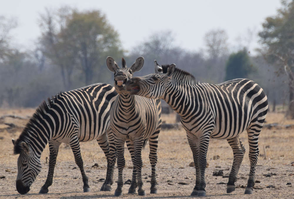*** EXCLUSIVE - VIDEO AVAILABLE *** ZAMBIA, AFRICA - AUGUST 2016: Thomas Bullivant from London wins the Juniors category with his image of three zebras posing for the camera, South Luangwa National Park, Zambia, August 2016. The Comedy Wildlife Photo Awards 2016 have come to an end as the winners for this year?s competition are revealed. This year?s contest featured over 2,200 hilarious entries from around the world, with each of the contenders combining exquisite photography skills and perfect comedy timing. The awards ceremony took place at the Underdog Gallery in London on November 9, with winners collecting trophies in five separate categories and an additional 10 highly commended photographers each receiving a certificate. PHOTOGRAPH BY Thomas Bullivant / Barcroft Images London-T:+44 207 033 1031 E:hello@barcroftmedia.com New York-T:+1 212 796 2458 E:hello@barcroftusa.com New Delhi-T:+91 11 4053 2429 E:hello@barcroftindia.com www.barcroftmedia.com