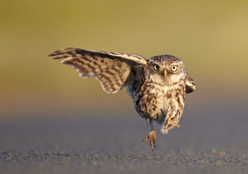 *** EXCLUSIVE - VIDEO AVAILABLE *** LANCASHIRE, UNITED KINGDOM - JULY 01, 2011: Austin Thomas wins one of the Highly Commended certificates a wild little owl landing with one wing open and one wing closed, Lancashire, England, July 2011. The Comedy Wildlife Photo Awards 2016 have come to an end as the winners for this year?s competition are revealed. This year?s contest featured over 2,200 hilarious entries from around the world, with each of the contenders combining exquisite photography skills and perfect comedy timing. The awards ceremony took place at the Underdog Gallery in London on November 9, with winners collecting trophies in five separate categories and an additional 10 highly commended photographers each receiving a certificate. PHOTOGRAPH BY Austin Thomas / Barcroft Images London-T:+44 207 033 1031 E:hello@barcroftmedia.com - New York-T:+1 212 796 2458 E:hello@barcroftusa.com - New Delhi-T:+91 11 4053 2429 E:hello@barcroftindia.com www.barcroftimages.com