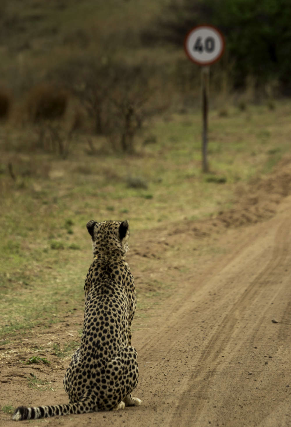 *** EXCLUSIVE - VIDEO AVAILABLE *** HOEDSPRUIT, SOUTH AFRICA: Vaughan Jessnitz wins one of the Highly Commended certificates for his image of a cheetah walking down a main road in a nature reserve in South Africa suddenly noticed a speeding sign, and promptly sat down as if to ponder this speed limit, Hoedspruit, South Africa. The Comedy Wildlife Photo Awards 2016 have come to an end as the winners for this year?s competition are revealed. This year?s contest featured over 2,200 hilarious entries from around the world, with each of the contenders combining exquisite photography skills and perfect comedy timing. The awards ceremony took place at the Underdog Gallery in London on November 9, with winners collecting trophies in five separate categories and an additional 10 highly commended photographers each receiving a certificate. PHOTOGRAPH BY Vaughan Jessnitz / Barcroft Images London-T:+44 207 033 1031 E:hello@barcroftmedia.com - New York-T:+1 212 796 2458 E:hello@barcroftusa.com - New Delhi-T:+91 11 4053 2429 E:hello@barcroftindia.com www.barcroftimages.com