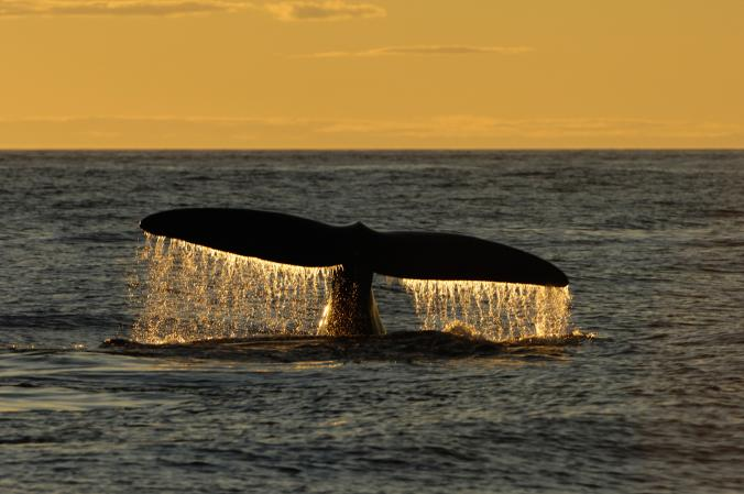 a-north-atlantic-right-whale-descending-into-canadas-bay-of-fundy