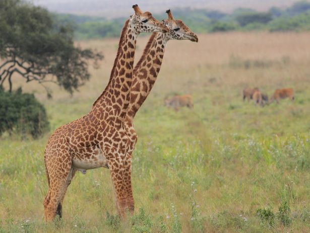 pay-prod-two-headed-giraffe-in-the-nairobi-national-park-kenya