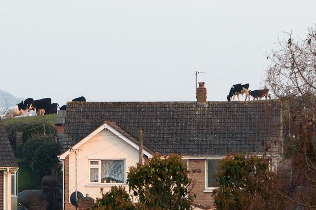 prod-pay-cow-on-a-roof